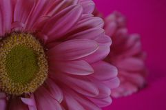 Lateral view of pink Daisy Flowers closeup. From a lateral view a pink Background a pink Daisy flower stands bouquet Royalty Free Stock Photography