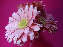 Lateral view of pink Daisy Flowers. From a lateral view a pink Background a pink Daisy flower stands bouquet Stock Photo