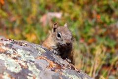 lateralis Dorato-avvolti di Callospermophilus dello scoiattolo a terra Fotografia Stock Libera da Diritti