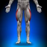 Lateralis Vastus - músculos da anatomia Fotografia de Stock Royalty Free