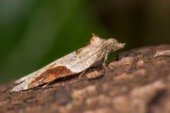 Laterana d'acleris (mite micro dans le Tortricidae de famille) Image libre de droits