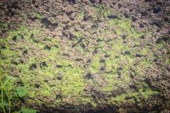Laterite τοίχος πετρών με την αύξηση χλόης και βρύου που διαμορφώνει όμορφο κατασκευασμένο στην επιφάνεια για το υπόβαθρο Παλαιό  Στοκ εικόνα με δικαίωμα ελεύθερης χρήσης