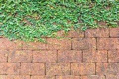 Laterite brick wall and ivy Royalty Free Stock Photo