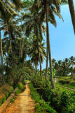 Laterite road to coconut garden. The laterite road to coconut garden stock photography