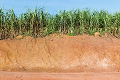 Lateritic soil and sugar cane plantation Royalty Free Stock Photos