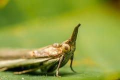 Laterne-Fliege Stockbild
