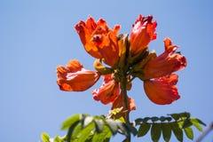 Lates calcarifer orange flowers Stock Photography
