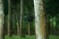 Latex étant rassemblé de l'arbre en caoutchouc Image libre de droits