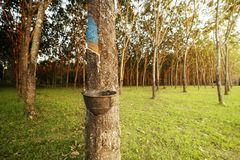 Latex extracted from rubber tree. Farm Royalty Free Stock Photo