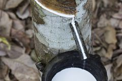 Latex extracted from rubber tree Hevea Brasiliensis as a source of natural rubber, Natural rubber from tree in cup. Thailand royalty free stock image