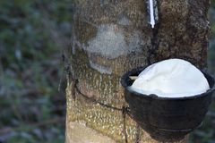 Latex extracted from rubber tree Hevea Brasiliensis as a source of natural rubber, Natural rubber from tree in cup. Thailand stock images