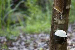 Latex extracted from rubber tree Hevea Brasiliensis as a source of natural rubber, Natural rubber from tree in cup. Thailand royalty free stock photos