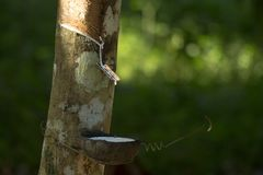 Latex extracted from rubber tree Hevea Brasiliensis as a source of natural rubber, Natural rubber from tree in cup. Thailand stock photos