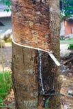 Latex extrait à partir de la source d'arbre en caoutchouc du caoutchouc naturel photographie stock libre de droits
