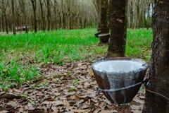 Latex extrait à partir de la source d'arbre en caoutchouc du caoutchouc naturel Photographie stock