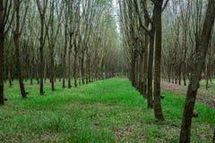 Latex extrait à partir de la source d'arbre en caoutchouc du caoutchouc naturel Photos libres de droits