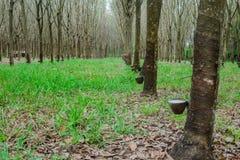 Latex extrait à partir de la source d'arbre en caoutchouc du caoutchouc naturel Photo libre de droits