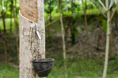 Latex flows from para rubber tree. In forest Royalty Free Stock Photos