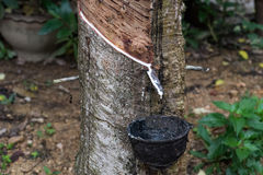 Latex harvesting from rubber plants. Southern Thailand rubber plants forest harvesting Royalty Free Stock Image