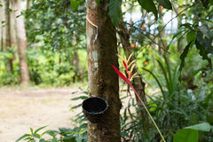 Latex harvesting from rubber plants. Southern Thailand rubber plants forest harvesting Stock Image