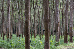 Latex harvesting from rubber plants. Southern Thailand rubber plants forest harvesting Stock Photography