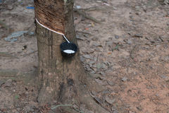 Latex harvesting from rubber plants. Southern Thailand rubber plants forest harvesting Royalty Free Stock Photo