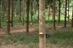 Latex laiteux extrait à partir de l'arbre en caoutchouc comme source de RU naturel Photographie stock