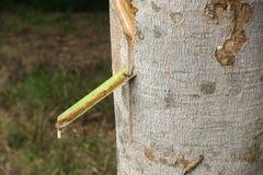 Latex laiteux extrait à partir de l'arbre en caoutchouc comme source de RU naturel Photo libre de droits