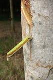 Latex laiteux extrait à partir de l'arbre en caoutchouc comme source de RU naturel Photos libres de droits