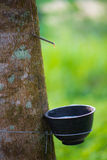Latex from natural rubber tree Stock Photo