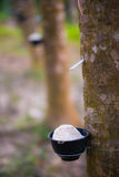 Latex from natural rubber tree Royalty Free Stock Image