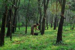 Latex plantation Stock Image