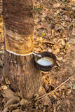 Latex rubber trees in the forest Stock Photos