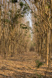 Latex rubber trees in the forest Stock Photography