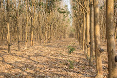 Latex rubber trees in the forest Royalty Free Stock Images