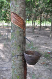 Latex som samlas från en knackad lätt på gummiträd Royaltyfri Foto
