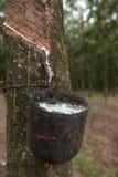 Latex tree Stock Photos