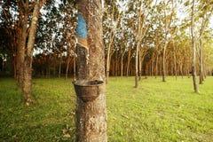 latex uit rubberboom wordt gehaald die Royalty-vrije Stock Foto