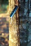 latex utdragen från gummiträdet Arkivfoton