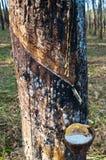 Latex von einem Gummibaum Stockbild