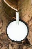 Latex von Gummibäumen Lizenzfreies Stockfoto