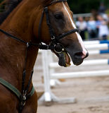 Lathery horse Stock Images
