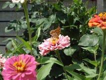 Lathonia de Issoria Fotos de Stock