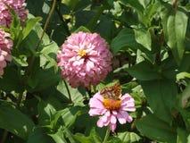 Lathonia de Issoria Fotografia de Stock