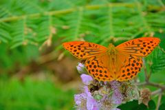 Lathonia di Issoria - regina della fritillaria della Spagna - bella farfalla arancio Fotografia Stock