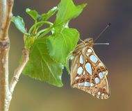 lathonia issoria стоковое изображение rf