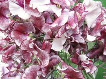 Lathyrus Royalty Free Stock Images