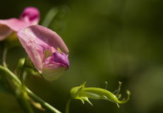 Lathyrus Stock Photography