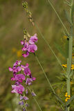 Lathyrus hirsutus Royalty Free Stock Images