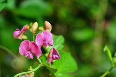 Lathyrus latifolius Blume Lizenzfreie Stockfotografie